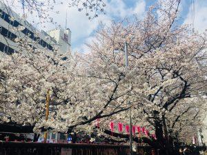 目黒川の桜サムネイル